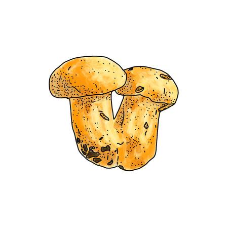 illustration of Boletus edulis mushroom on white