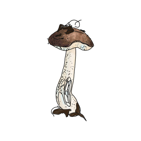 illustration of Leccinum brown cup boletus on white