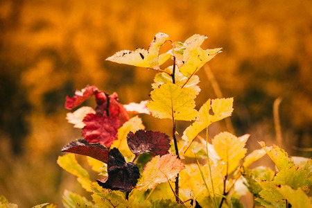 Photo of autumn leaves on a tree. Golden autumn. Bright red, yellow, orange background Фото со стока