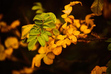Photo of dog-rose leaves and berries. Golden autumn