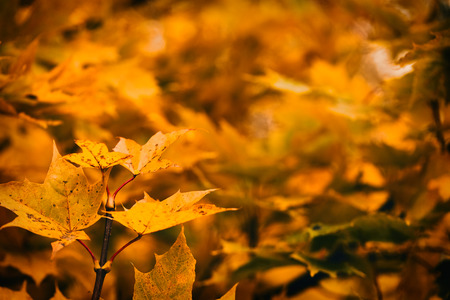 Photo of many maple leaves on a tree. Golden autumn. Bright red, yellow, orange background