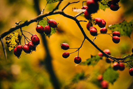 Photo of autumn berries on tree. Фото со стока