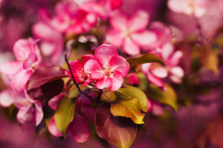 Photo of apple blossom. Spring, sunshine, happiness.