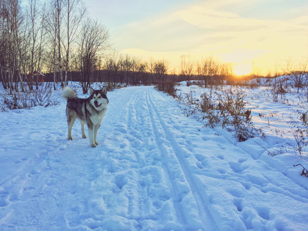 Alaskan malamute dog standing on a snow field.