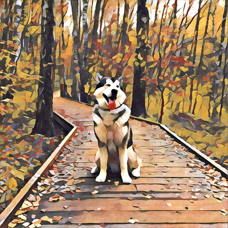 Alaskan malamute dog sitting on wooden planks in the autumn forest.
