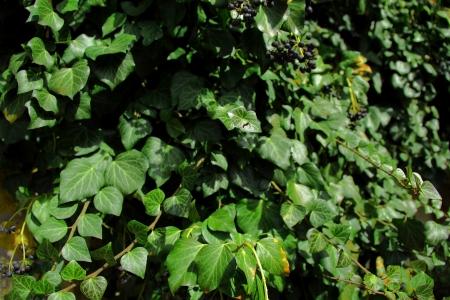wall ivy: hiedra pared en la primavera
