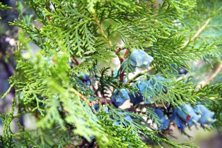 Thuja with fruit on the branches photo