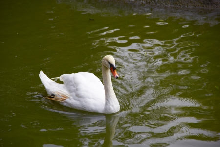 swan on the pond photo
