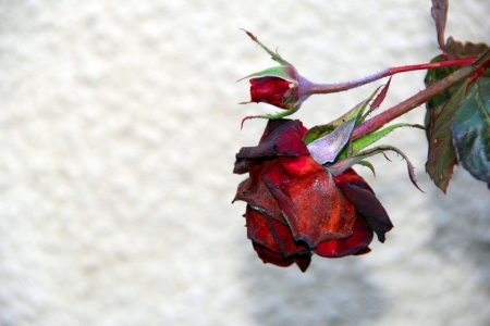 wilting: red rose is wilting in autumn
