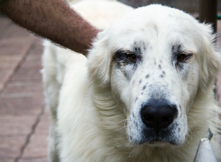 central asia shepherd dog: big white dog breed alabai is good