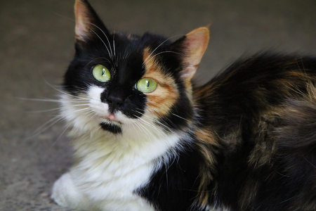 calico whiskers: big tricolor lady cat in the street Stock Photo