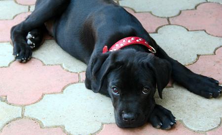 Kleine zwarte puppy riet corso met rode kraag. foto Stockfoto - 87712992