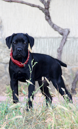 Kleine zwarte puppy riet corso met rode kraag. foto Stockfoto - 87960981