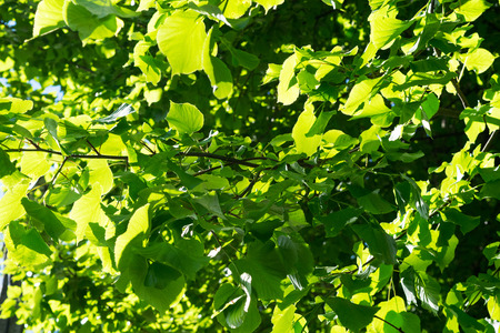 tilo: Green leaves of a tree. Green leaves texture. Natural background of green tree leaves.