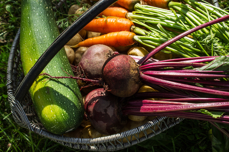 Freshly picked vegetables in a basket. Vintage of fresh organic vegetables. Carrots, beets, zucchini. Close-up. Selective focus. Stock Photo