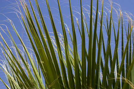 Leaves of palm trees against the blue sky. Natural background. Selective focus.