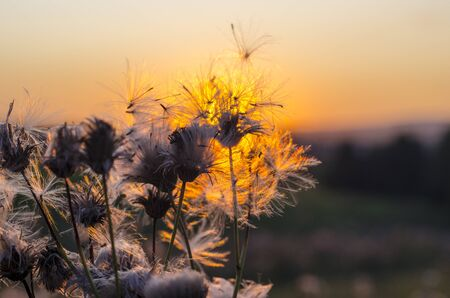 Dandelion on the background of the setting sun. The concept of lightness and contemplation. In the background is a meadow. Close-up. Copy space.