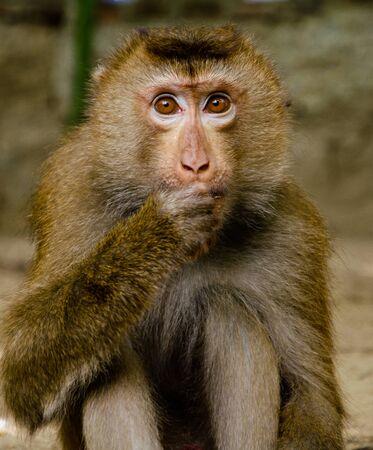 El pequeño mono mira y come nueces. Sostiene la pata derecha en la boca. Retrato de primer plano. Los ojos marrones están bien abiertos.