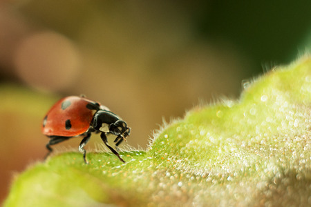 ladybug on a green leaf, macro photography, close-up plan, plant geranium and insect. water drops, glare, bokeh 免版税图像