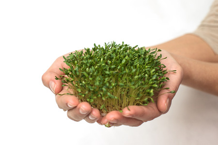 green plants in hand, germinated seeds of cress lettuce in the palm on a white background, isolate, vegetarianism, raw foods