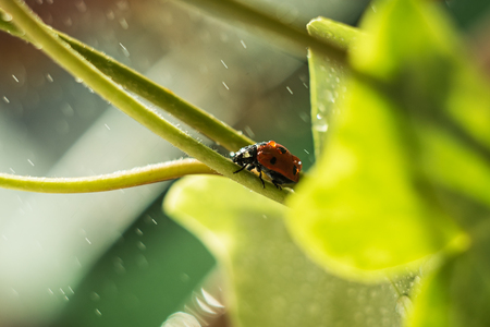 ladybug on a green leaf, macro photography, close-up plan, plant geranium and insect. water drops, glare, bokeh Zdjęcie Seryjne