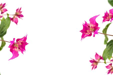 pink bougainvillea flowers on a white background. place for text. frame. copy space Stock Photo