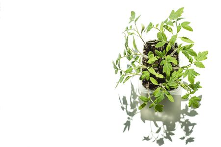 growing tomato seedlings. Young shoots on a white background, isolate, copy space, mock up.