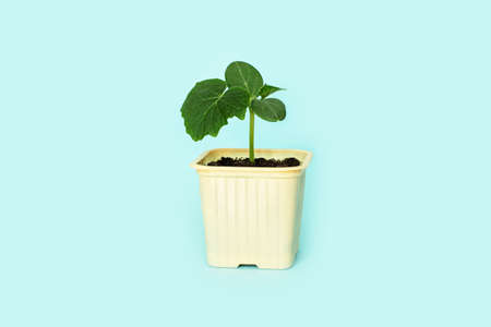 Seedling green sprout of cucumber with leaves in a yellow pot on a blu background. New life, birth. Plant growing. Copy space