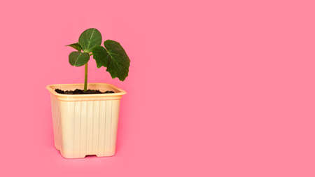 Seedling green sprout of cucumber with leaves in a yellow pot on a pink background. New life, birth. Plant growing. Copy space