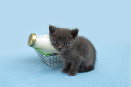 Kitten and a bottle of milk. Gray cat with food in shopping cart. Blu background. Copy space