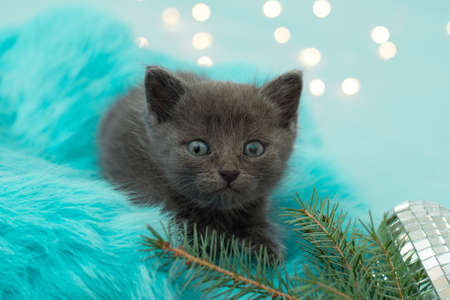 Christmas kitten. little cat with Christmas tree and lights. Blue background, copy space Stock Photo