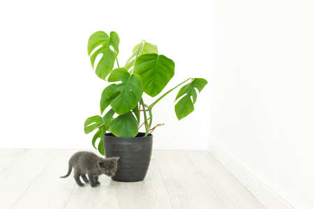 gray kitten and home plant monstera. Potted flower in an interior without people