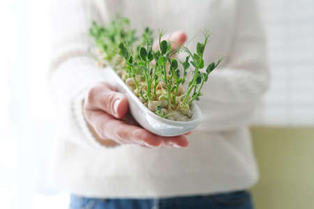 Peas microgreens in woman hands. Earth Day. Seed Germination at home. Space for text. Concept Vegan and healthy eating. Growing sprouts.