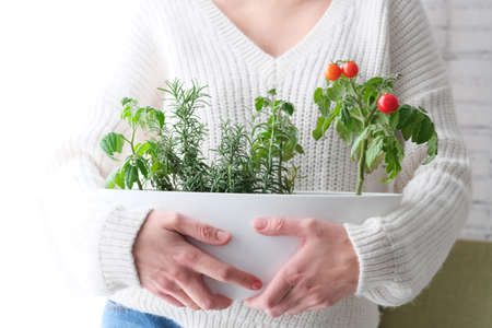 Cherry tomatoes and rosemary grown in a pot in a home garden, in the hand of a girl