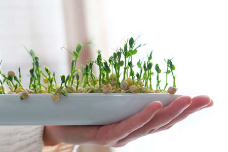Sprouted peas microgreens. Earth Day. Seed Germination at home. Space for text. Concept Vegan and healthy eating. Growing sprouts. Standard-Bild