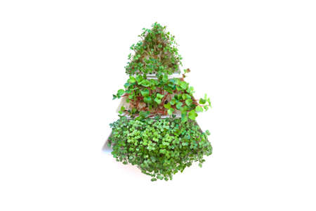 Sprouted radish seeds microgreens. microgreen christmas tree. Seed Germination at home. Space for text. Concept Vegan and healthy eating. Growing sprouts.