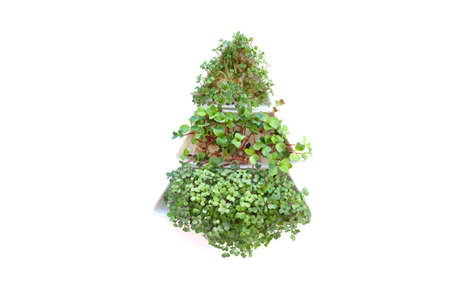 Sprouted radish seeds microgreens. Earth Day. Seed Germination at home. Space for text. Concept Vegan and healthy eating. Growing sprouts.