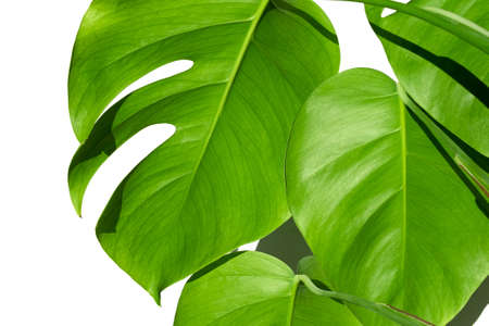 Monstera plant in a white pot on a white isolated background. The concept of minimalism. Monstera deliciosa leaves or Swiss cheese plant in pot tropical leaf background. Daylight, harsh shadows. Close up