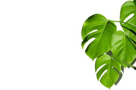 Monstera plant in a white pot on a white isolated background. The concept of minimalism. Monstera deliciosa leaves or Swiss cheese plant in pot tropical leaf background. Daylight, harsh shadows. Close up 版權商用圖片
