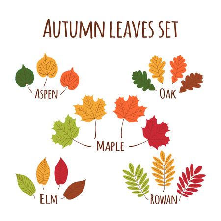 Autumn leaves set vector. Fall leaf icons isolated on white background. Oak, maple, rowan, elm and aspen tree leaves in all autumnal colors ? green, yellow gold, orange, red and brown.