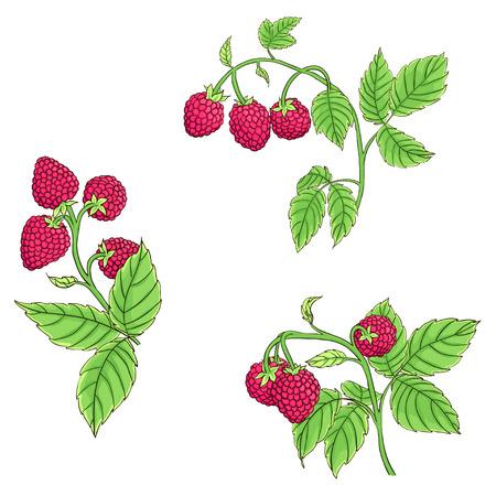 Branches isolées de framboises sur fond blanc. Lignes noires de framboises dessinées et peintes en couleurs vives. Illustration vectorielle Vecteurs