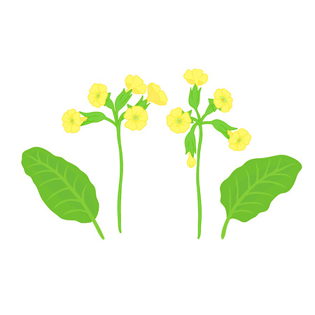primrose: Set of vector twigs blooming primrose yellow leaves on a white background, hand-drawn. Isolated. Vector illustration Illustration