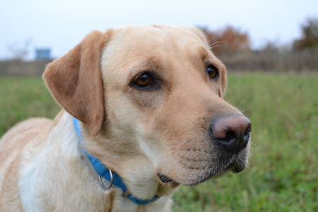 Labrador dog outdoors portrait. Walks in the field