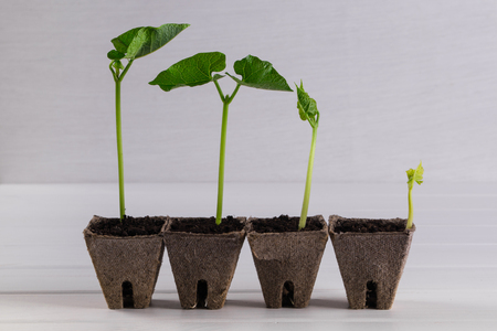 Pots with seedlings stand in a line  on white wooden background