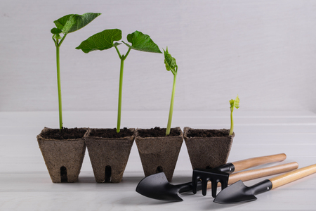 Pots with seedlings stand in a line and little garden tools on white wooden background