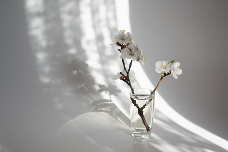 Twig in bloom in a glass vase.Morning sunlight. White background