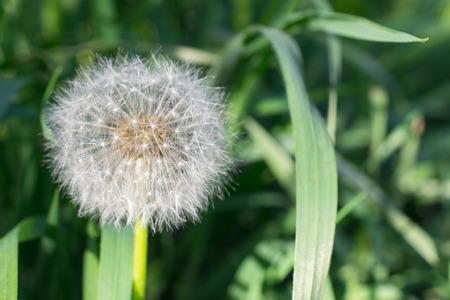 Fluffy white dandelion flower blowball on green grass background fluffy white dandelion flower blowball on green grass background stock photo 100627755 mightylinksfo
