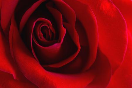 Beautiful bud velvet red rose flower close up. Flower macro background Stok Fotoğraf