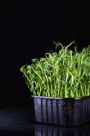 Young vegetable pea sprouts grown in a plastic box. Vegan and healthy eating concept. On black background
