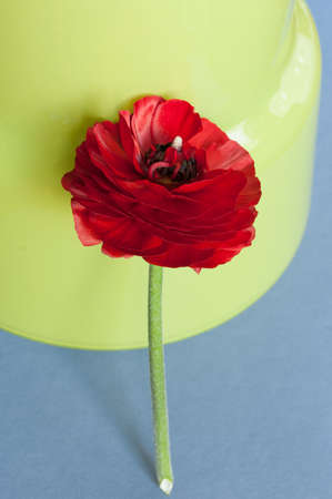 persian green: Red persian buttercup flower on green background. Stock Photo